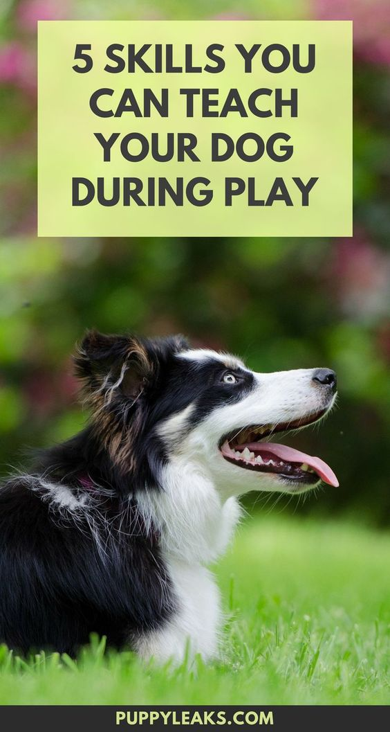 5 skills you can teach your dog during play. How to train your dog during play.
