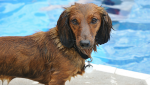 swimming improves mobility in dogs