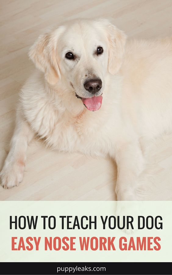 How to get started with scent work by teaching your dog some easy nose work games.