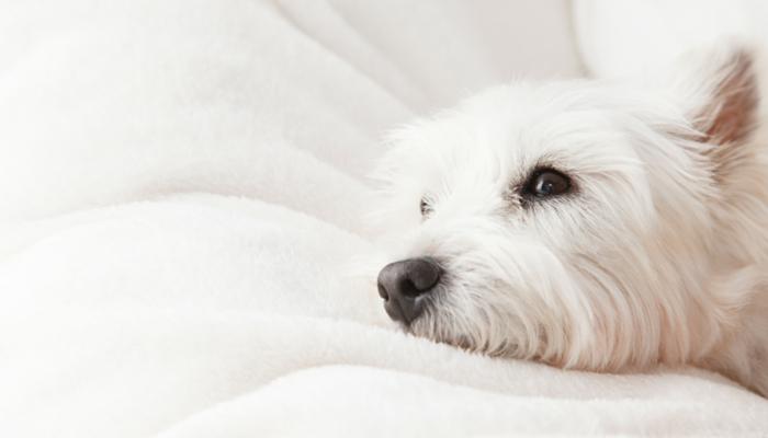 Comment gérer une angoisse légère séparation des chiens
