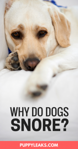 Why Do Dogs Snore Puppy Leaks