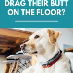 Why do dogs drag their butt across the floor?