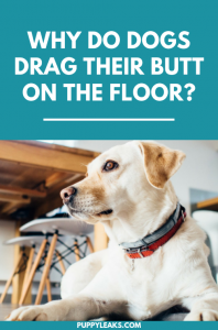 Why do dogs drag their butt across the floor?