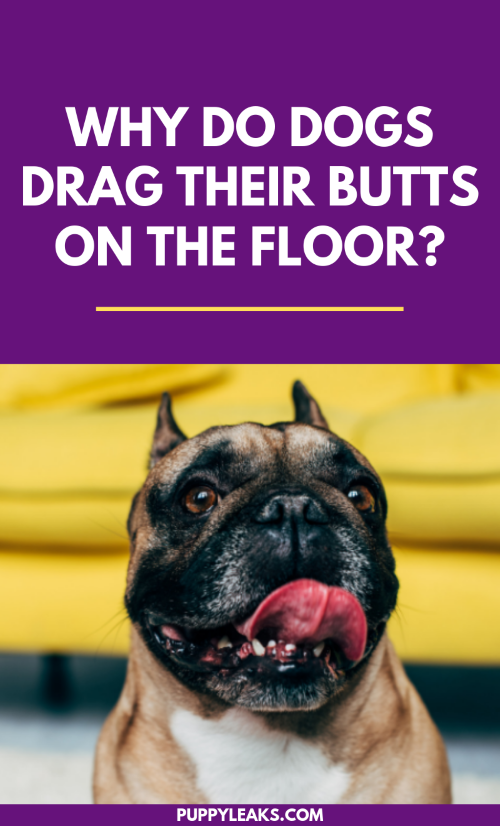 Why Do Dogs Drag Their Butts on the Floor?