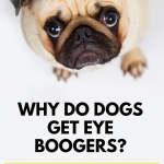 Why Do Dogs Get Eye Boogers